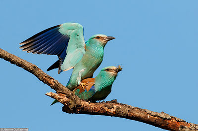 European Roller adventures - Episode 2 - Courtship feeding and mating