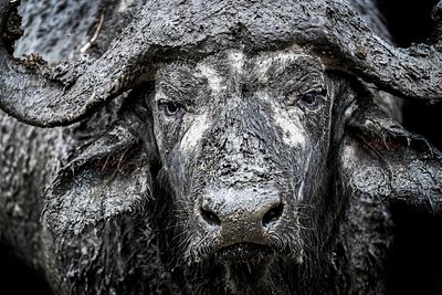 Closeup Muddy Cape Buffalo