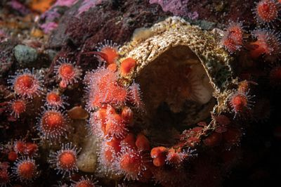 Strawberry Anemone, Corynactis californicus clumping around an old Giant Barnacle shell.