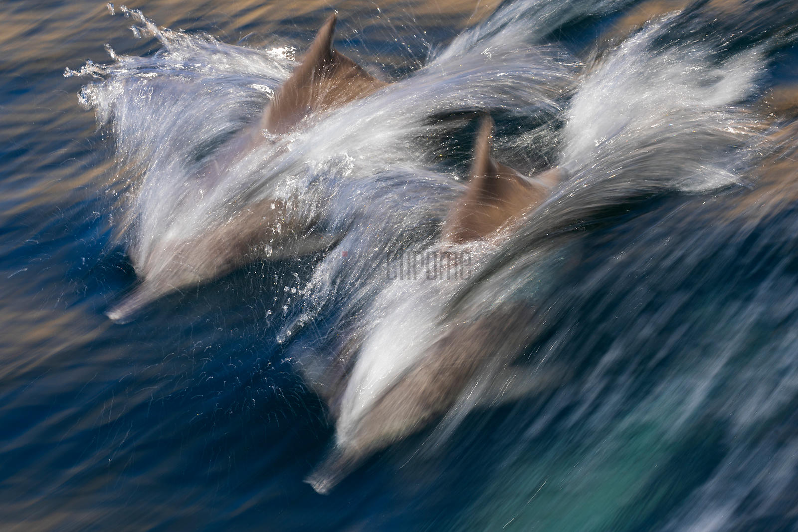 Bottle-nosed Dolphins Riding the Bow Wave of a Boat