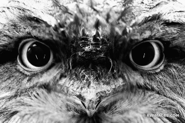 TAWNY FROGMOUTH BLACK AND WHITE