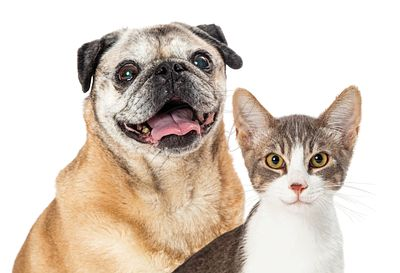 Happy Pug Dog and Cat Together Closeup