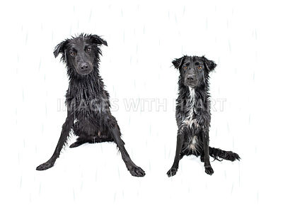 Wet black dogs with Rain Overlay