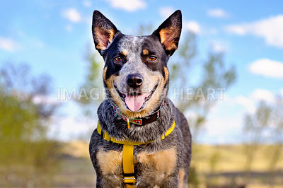 Blue Heeler Closeup Outdoors Smiling