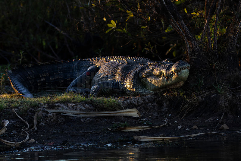 Estuarine (Saltwater) Crocodile Rests on the Bank of Corroboree Billabong at Sunset