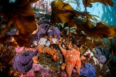 Cluster of Purple Ochre Stars, and a Leather Star, near the surface in Browning Pass.