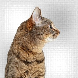 Closeup Tabby Cat Facing Side - Extracted
