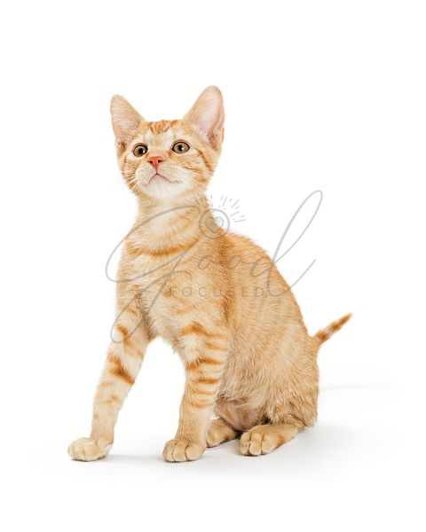 Cute Young Orange Striped Tabby Kitten