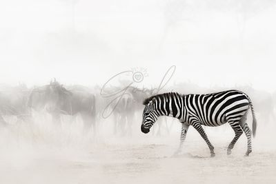 Zebra in Dust of Africa