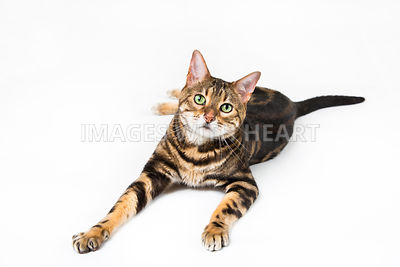 Full Body Bengal Cat Lying Down on White Background