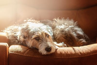 Sleepy Dog on Couch With Morning Sunlight
