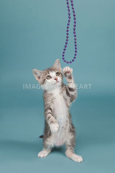 Kitten Full Body Blue Background