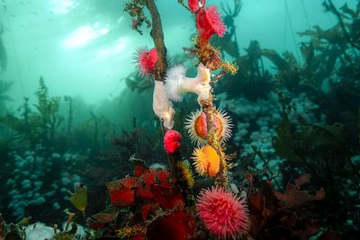 Brooding Anemone, Epiactus lisbethae, and small Plumose Anemone on kelp on Hunt Rock near Port Hardy, BC