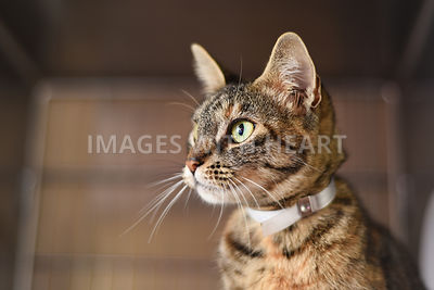 Brown tabby profile