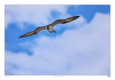 Osprey gliding looking for food