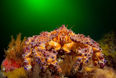 Face on to a Puget Sound King Crab, Lopholithodes mandtii.