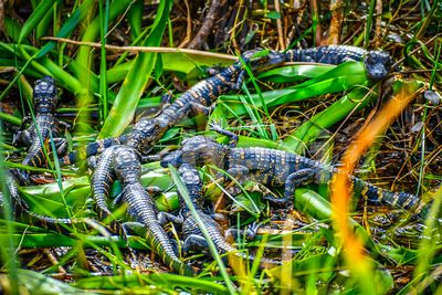 A newborn baby American Alligators in Miami, Florida