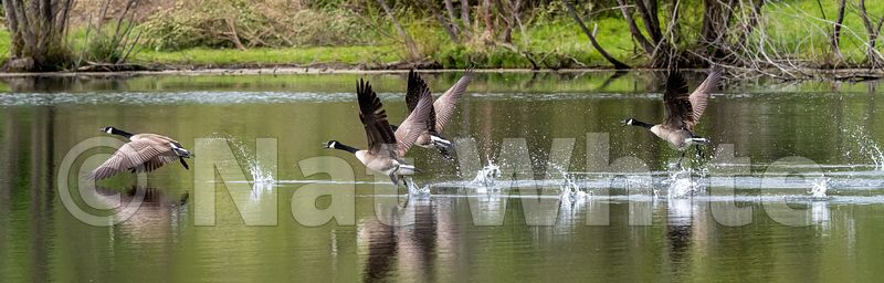 Goose_takeoff_May_04_2021_NAW1683NAT_WHITE