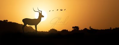 Silhouette Impala at Africa Sunset