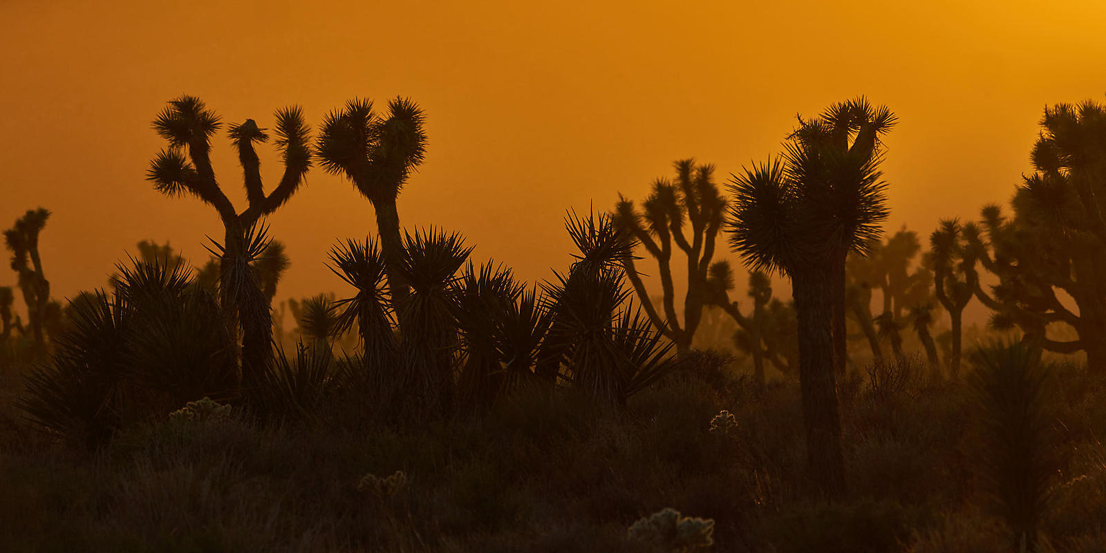 Joshua Tree Sunset Panorama