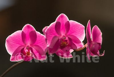 Backlit_Phalaenopsis-January_07_2021_NAT_WHITE