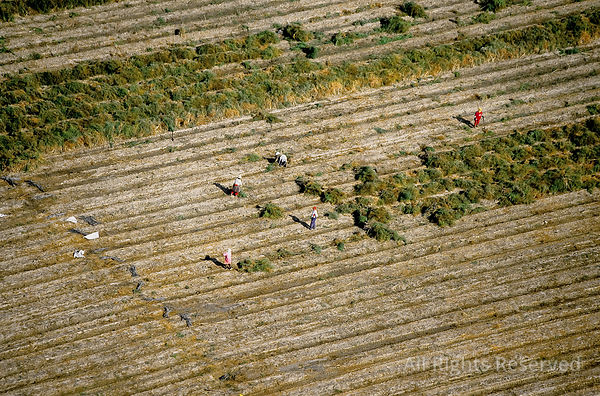 Farm Field Workers Ica Peru