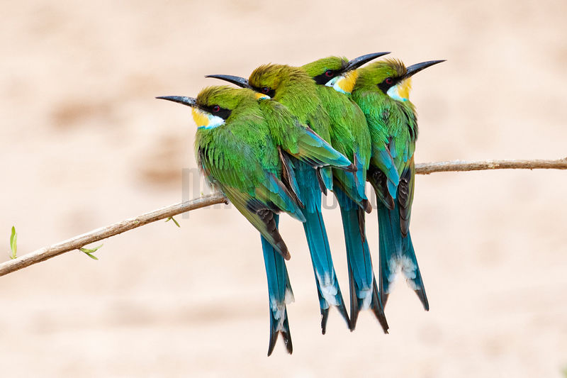 Swallow-Tailed Bee-Eaters on a Branch on a Cold Morning in the Hoanib