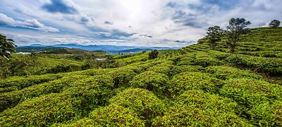 tea_plantation_small