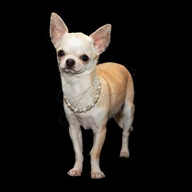 Spoiled Chihuahua wearing necklace