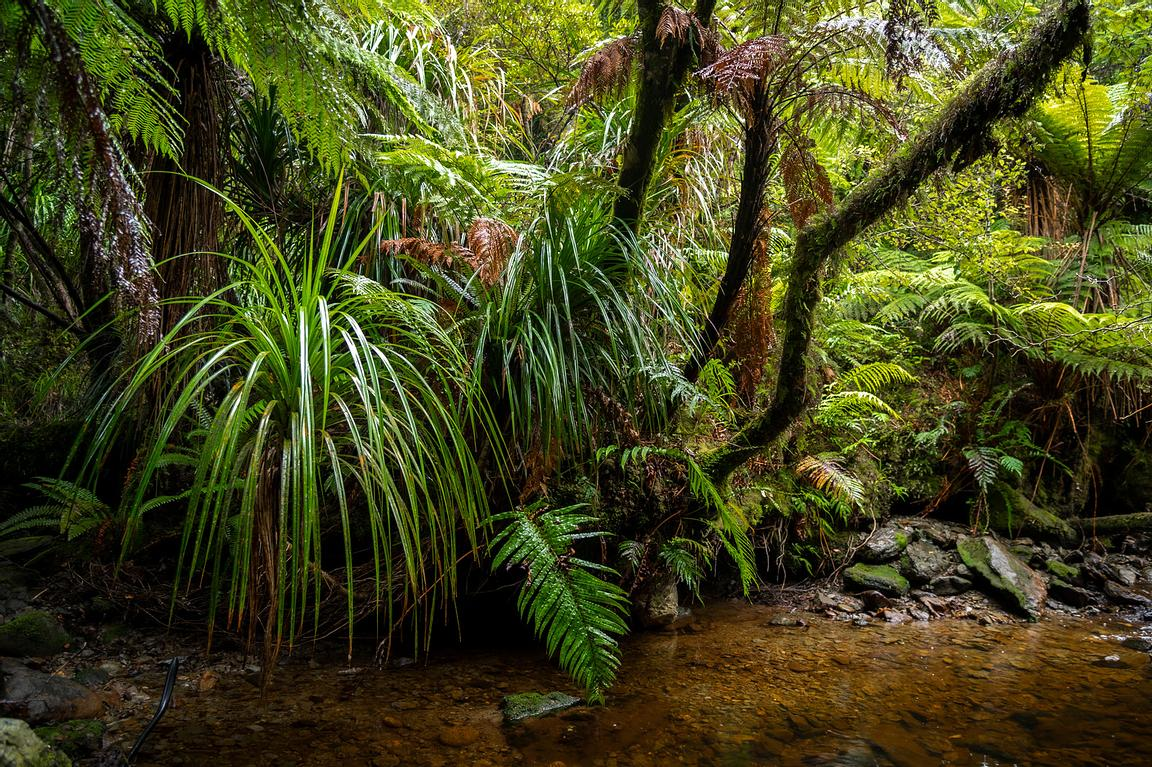 Vines and ferns in South Westland forest, New Zealand.