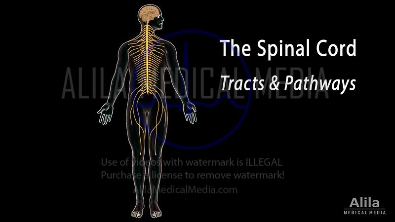 Spinal cord: Tracts and Pathways, NARRATED animation