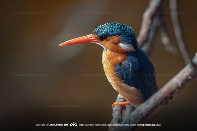 Perched Malachite Kingfisher