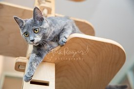 Tortoiseshell Cat stepping Down from Cat Tree