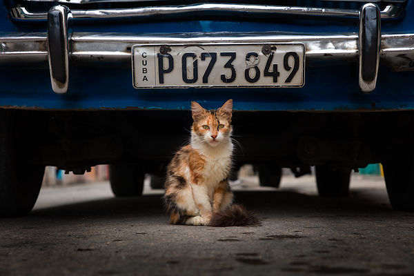 Havana_Cuba_Cat_Photo_Car