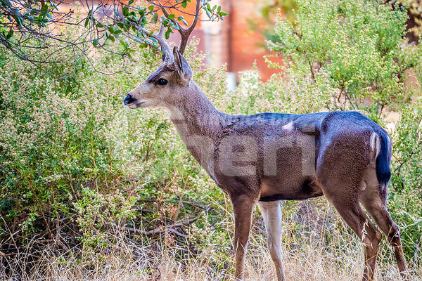 A Mule Deer in Paicines-San Benito, California