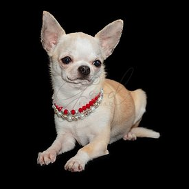 Spoiled Chihuahua dog laying down wearing necklaces