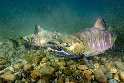Male Chum Salmon Sparring 2