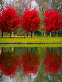 Sugar Maples Reflected