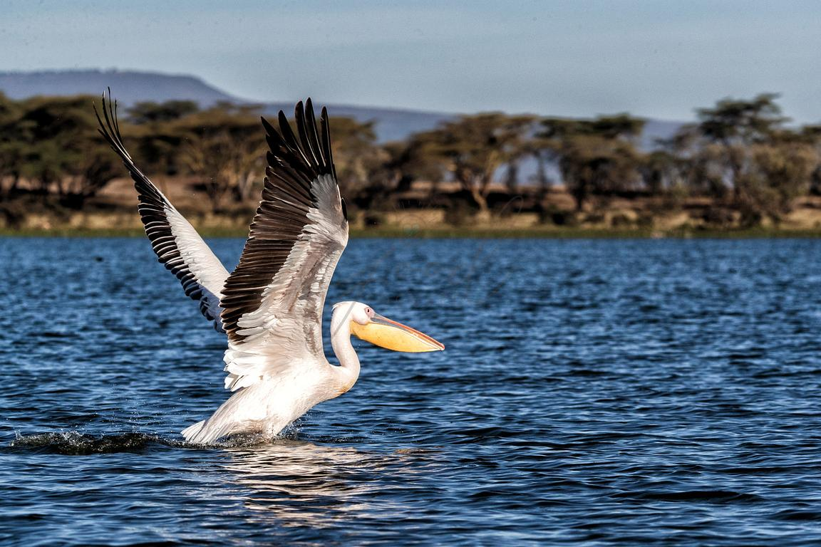Pelican Taking Off For Flight on Lake Naivasha