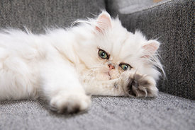 Grumpy Persian Kitten Resting on Paw