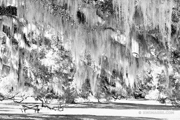 LIVE OAK TREES BRANCHES SPANISH MOSS PLUM ORCHARD CUMBERLAND ISLAND GEORGIA BLACK AND WHITE