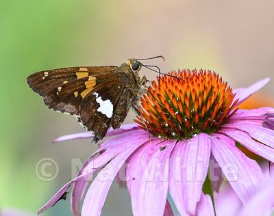 Butterfly_on_Cone_Flower-Filename_number_suffix-_1July_09_2019_