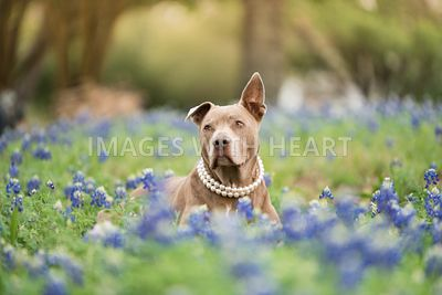 Pitbull wearing pearls sitting in Texas bluebonnets