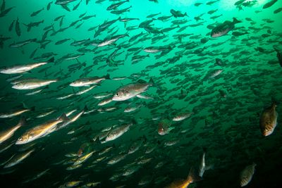 Large school of Widow Rockfish, Sebastes entomelas, hanging off Browning Wall in 2020. This large accumulation of rockfish is...