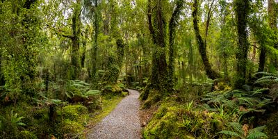 Assortment of trees growing in the rainforest of Westland in New Zealand.