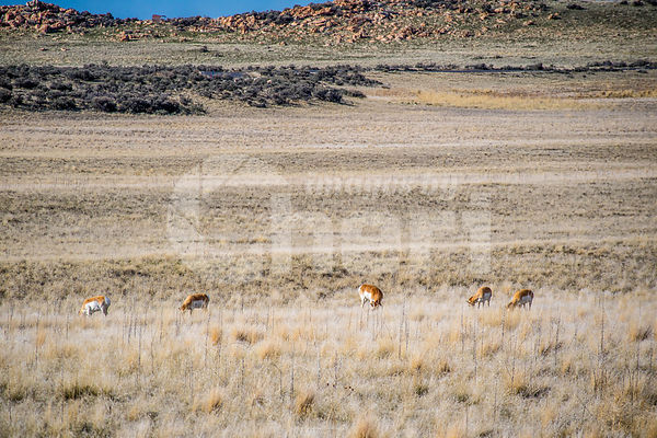 Pronghorn in the field of Antelope Island State Park, Utah