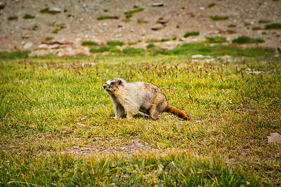 Marmot on Hidden Lake Trail #3