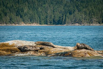 Harbour seals on rock
