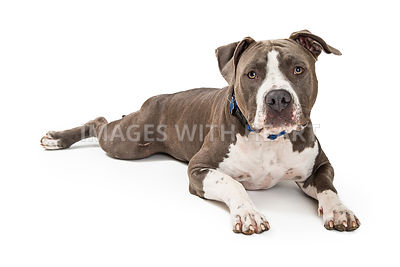 Grey and White Pit Bull Terrier Dog Lying Down
