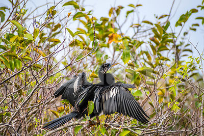 A Male Anhinga in Everglades National Park, Florida